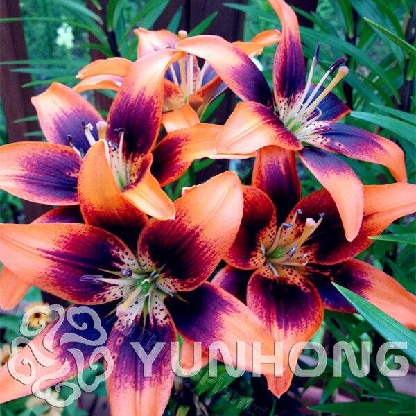 Цветок остеосперма
