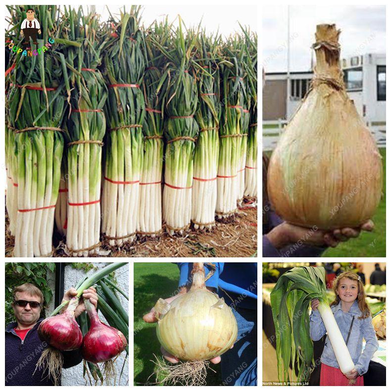 Promotion 100pcs Rare Giant Garlic China Green Onion