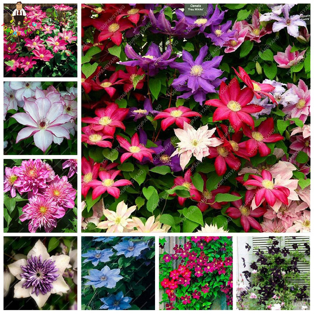 Hot sale 100pcs exotic climbing clematis flowers plants of flower hot sale 100pcs exotic climbing clematis flowers plants of flower vines plants bonsai perennial flower plants mightylinksfo