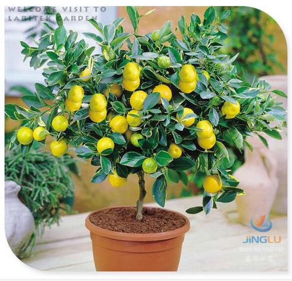 30 Seeds Dwarf Lemon Tree Seeds---Natural Perfume Indoor, DIY Home Garden Bonsai, fragrant