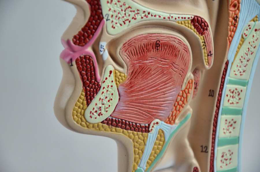 picture-of-throat-anatomy