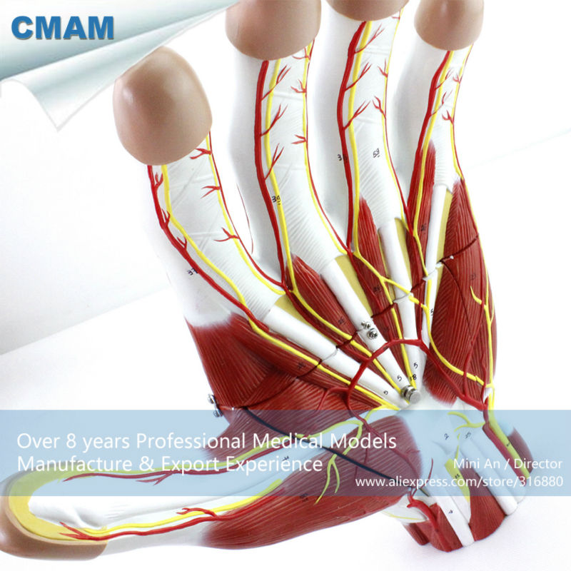 12032 CMAM-MUSCLE09 Hand Sectional Anatomy of Nerves and Blood Vessels Model, Human Anatomy Model of Hand cmam viscera01 human anatomy stomach associated of the upper abdomen model in 6 parts