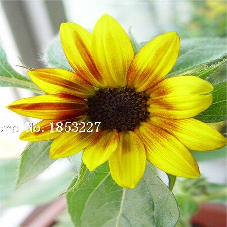 GGG 50 Seed Rare Garden Mini Sunflower Seeds, ideal decorative garden flower seeds, bright color , pot , yard