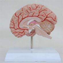 Человеческий правый мозговой кровеносный сосуд медицинский дисплей
