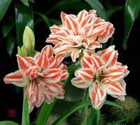 Home Decoration Rainbow 3bulbs Flower Bulbs Amaryllis Seeds Sementes De Flores Amaryllis Bulbs Casa A Jardim