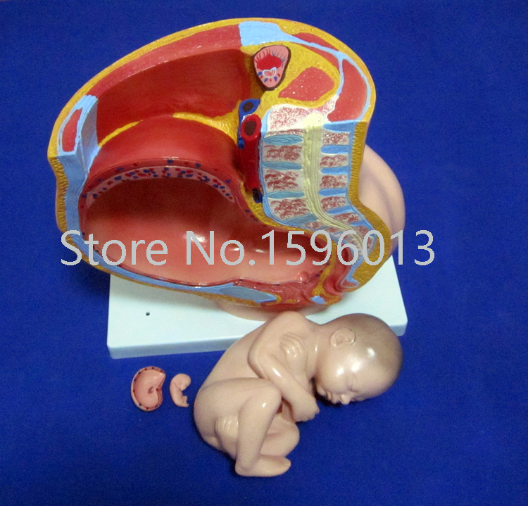 Сагиттальная Анатомия женской модель таза, таз с плода модель 4 части, Женская Анатомия таза с маткой модель