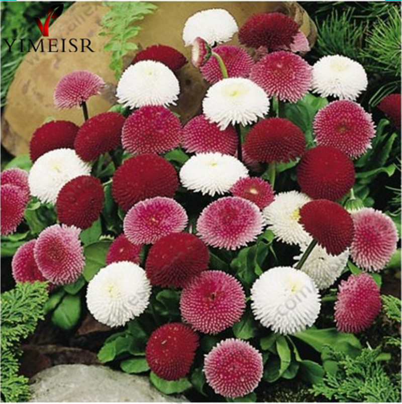 English Daisy seeds Bellis perennis Rare bonsai chrysanthemum flower seeds for Home garden Outdoor plant flowers100seeds bag