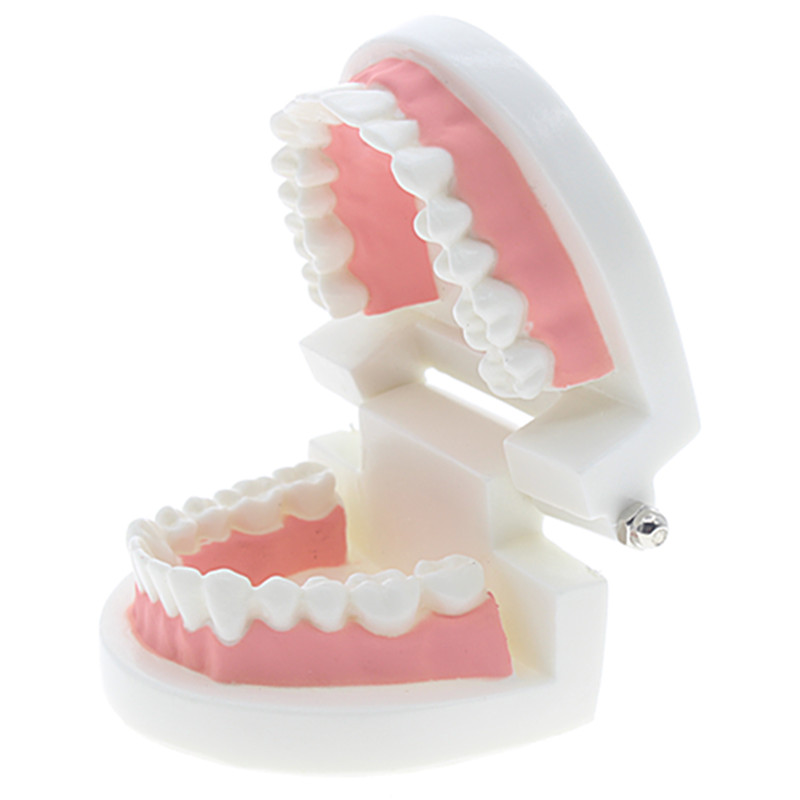 Kids Early Education Toys Brushing Training Oral Cavity Teeth Dental Model Enlightenment Education Toy