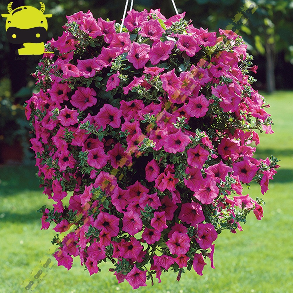 Hanging garden petunia flower seeds 200 seeds pack for Easy care flowers for garden
