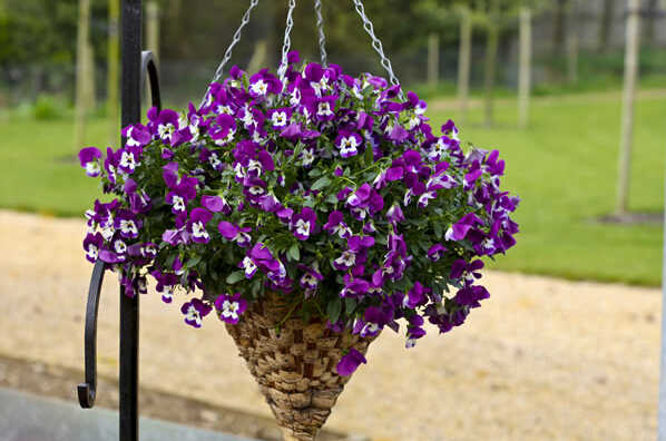 Viola pansy bonsai 200 pcs pansy rare plants Home & Garden Plant Indoor Bonsai yard Flower Free shipping Hot selling easy grow