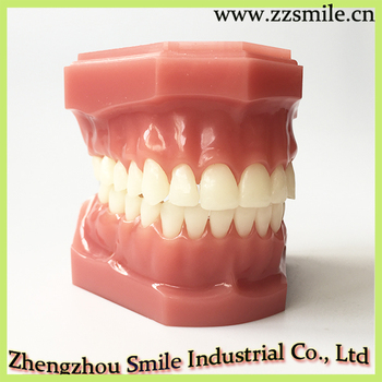 Dental Standard Demonstration Model/Standard Teeth Model M7003