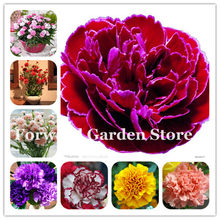 New Arrival 100 Pcs Mixed Carnation Bonsai Balcony Potted Courtyard Garden Planting Dianthus Caryophyllus Flower Bonsai Mom Gift(China)
