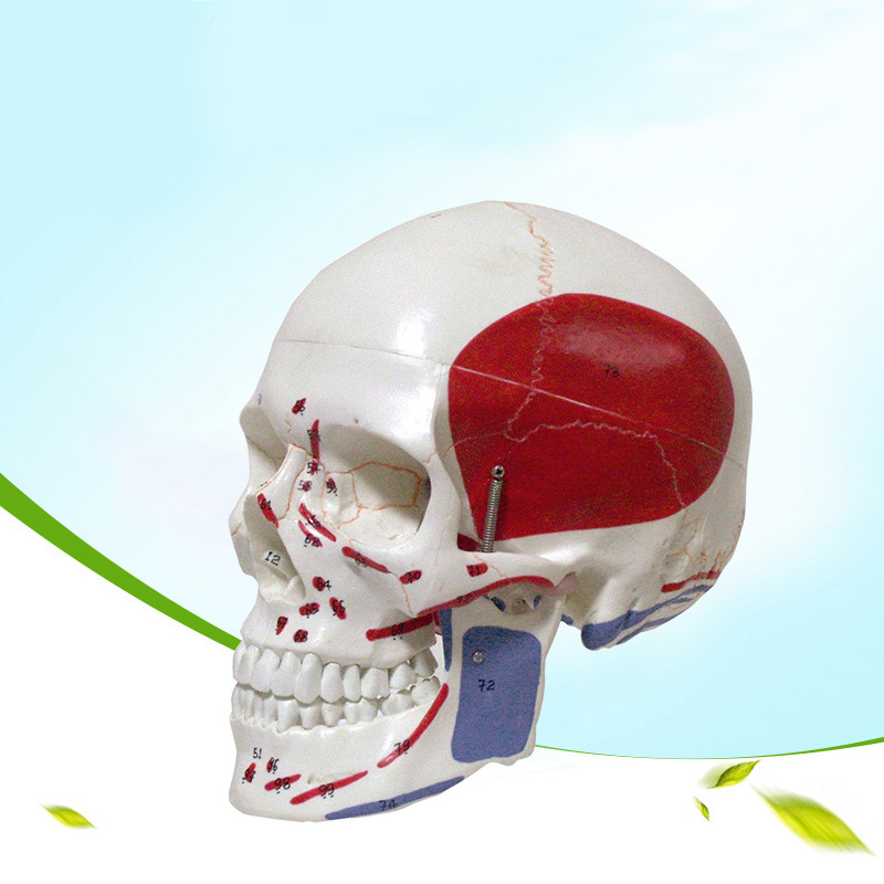 Life Size Colored head model, the natural human,skull, adult head, the anatomy of the Medical supplies цена