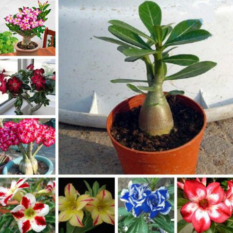 Red Purple Pink Yellow Black MIXED TYPE Adenium obesum Desert Rose Bonsai Flower 10 Seeds FRESH ...