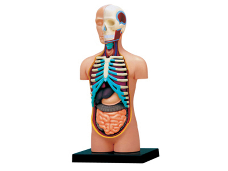 4d Human Torso Anatomy Model Skelekon Medical Teaching Aid Puzzle Assembling Toy Laboratory Education Classroom Equipment