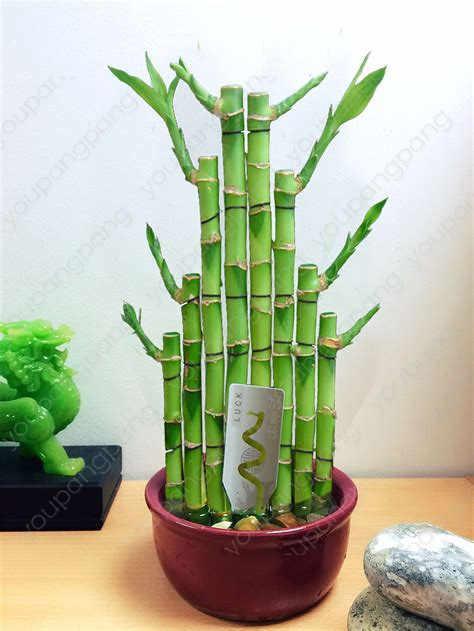 6 أنواع محظوظ الخيزران اختيار بوعاء بونساي متنوعة كاملة Dracaena النبات معدل مهدها 95% 30 قطعة/الحزمة