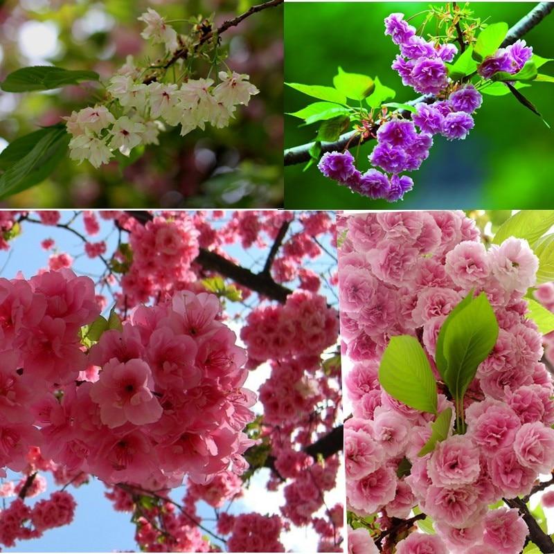 Courtyard 10pcs/lot Cherry Rare Flower Seeds Japanese Garden Flowers Seeds  For Balcony Bonsai Tree
