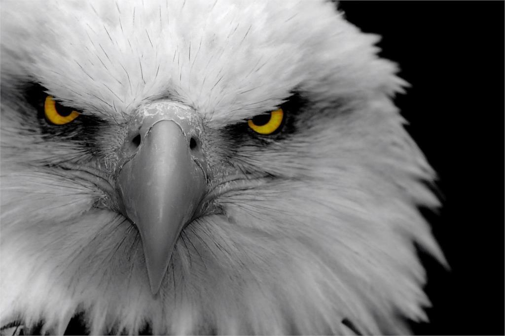 ⑥DIY marco blanco feroz Eagle Hawks animal carteles y Impresión de ...