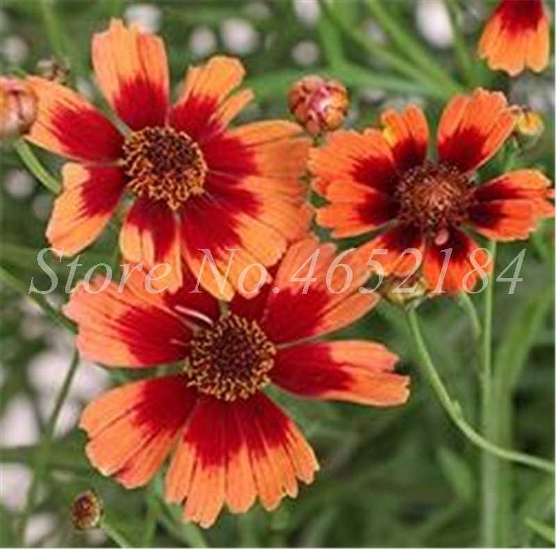 2019 Nova Incrível Rainbow Coreopsis Flor Bonsai, 100 pcs Raros Cosmos Crisântemo Flores Jardim de Casa Bonito O Seu Jardim
