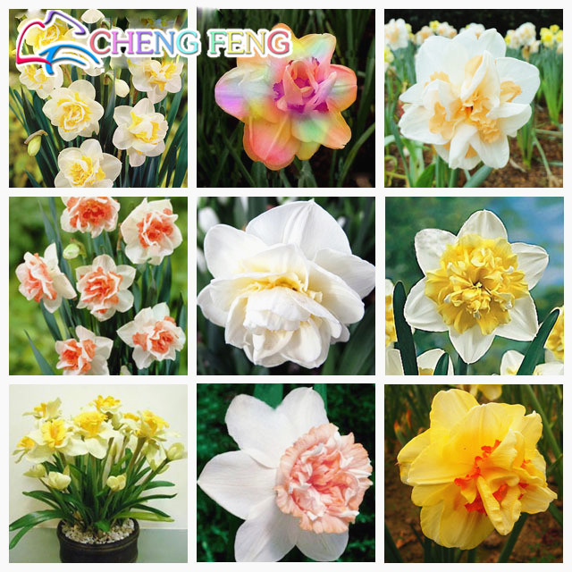 best selling! 50pcs Bonsai Seeds of Aquatic Plants Double Petals Pink Daffodils Seed for Home Garden free shipping 2016
