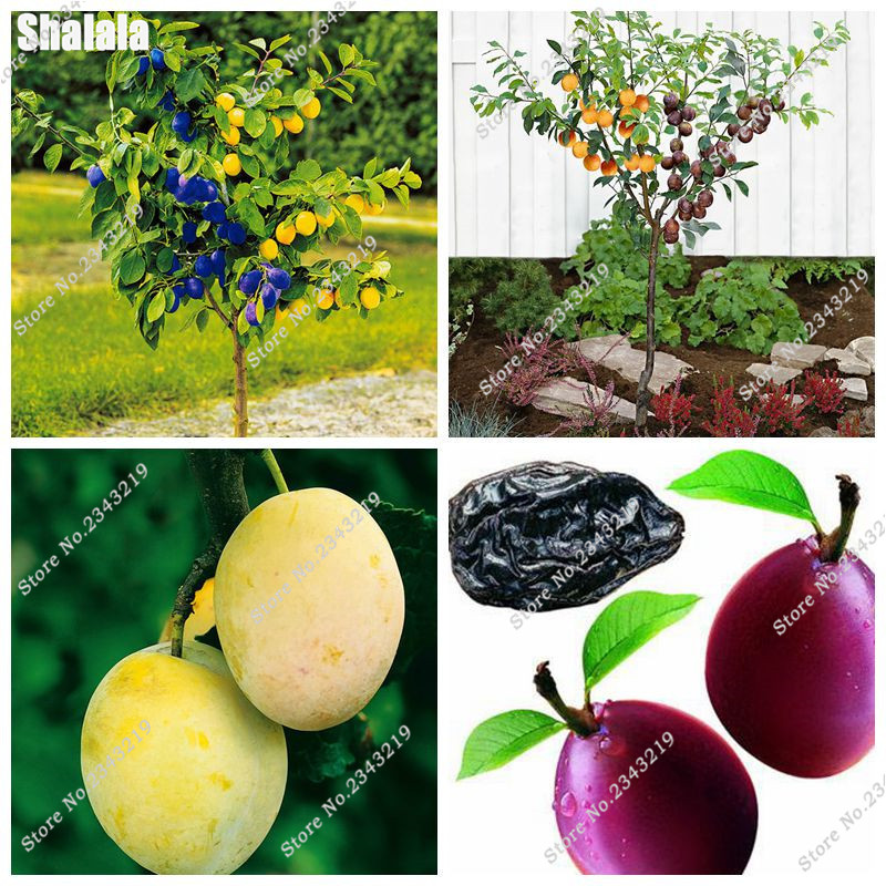 Rare Brin Plum Seed Black Fruit Seed Flower Pots Planters, Non-Gmo Diy Home Garden Plant Bonsai Seeds Easy Grow 20 Pcs / lot