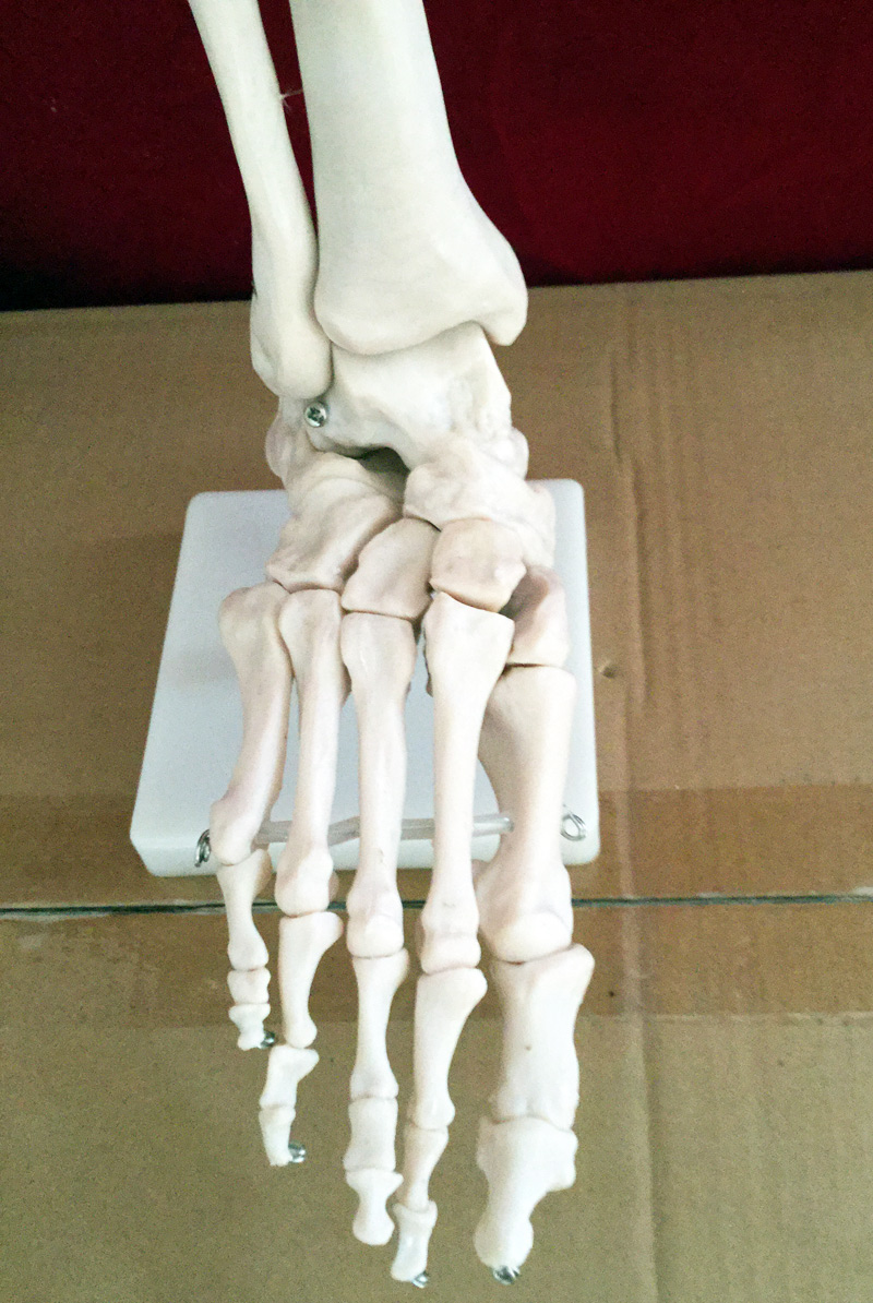 Life size Human Life Size Right Foot Joint Anatomical Model Skeleton ...