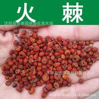 Pyracantha الشعلة seedub شوكة الفاكهة الحمراء بذور شجرة السياج الأخضر النبات الشائك seedave rationseed 200 جرام/حزمة
