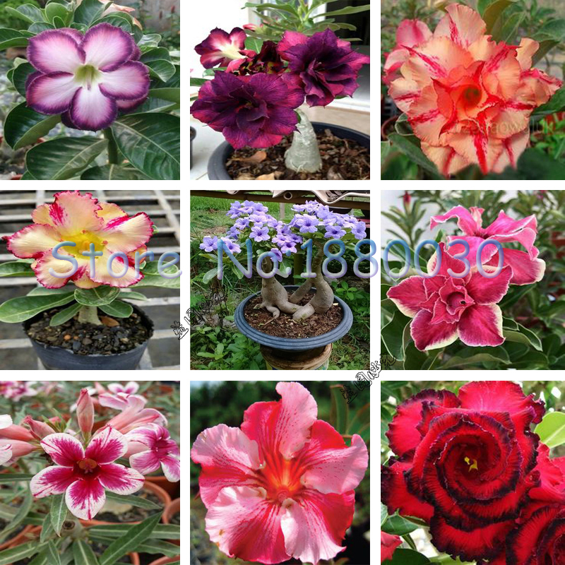 Desert Rose Flower Seeds Potted Bonsai Garden Patio Plant Real Seeds  Planted 9 Different Color Varieties