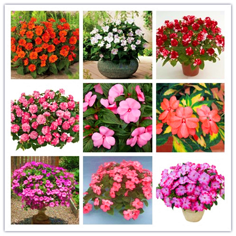 20 seeds super rare garden balsam Double impatiens flower Seeds for home garden easy to grow rare variety