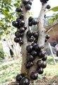 20 unids/bolsa Mangostán semillas, deliciosas semillas de frutas, plantas de jardín, envío gratis