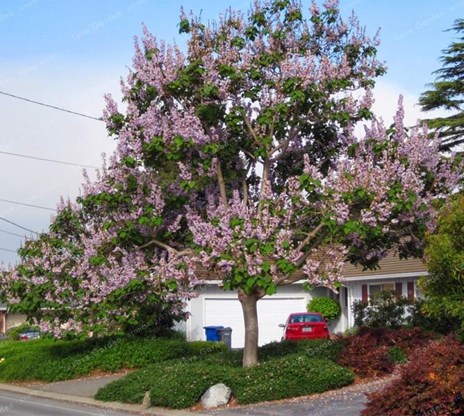 адамово дерево фото комнатное растение уникально