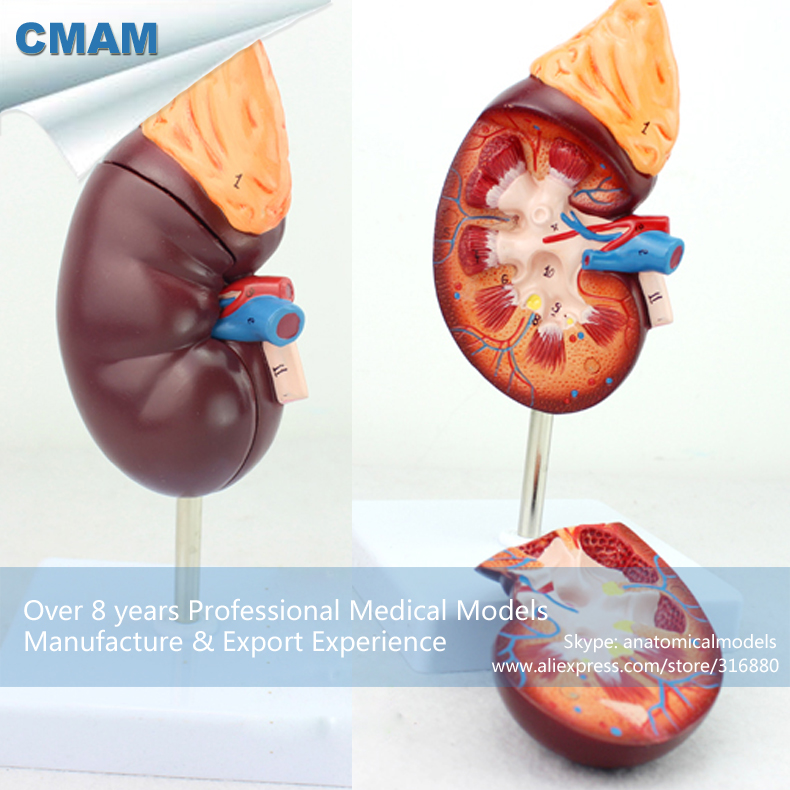 12434 CMAM-KIDNEY05 Normal Kidney Anatomy Model,2 Part, 1.5 time Enlarge Life Size, Anatomy Models > Urinary Models 12479 cmam heart03 full life size human adult heart anatomy model 2 parts anatomy models heart models