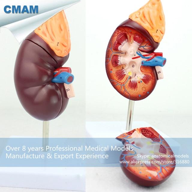 12434 Cmam Kidney05 Normal Kidney Anatomy Model2 Part 15 Time