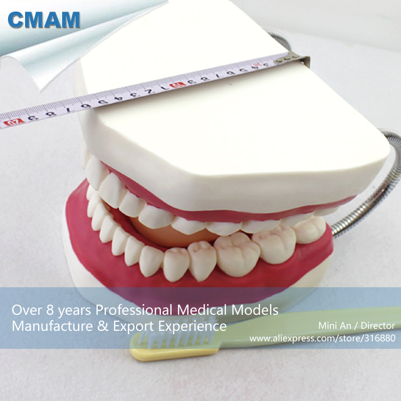 12562 CMAM-DENTAL03 Oversized 6x Life Size Tooth Brushing Model,  Medical Science Educational Teaching Anatomical Models 12569 cmam dental10 cranial nerve model in oral cavity medical science educational dental teaching models