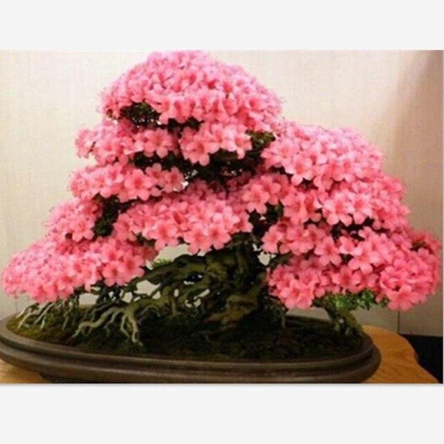 10 Pcs Sakura Japonais Graines Bonsai Fleur Cerisier Ornemental
