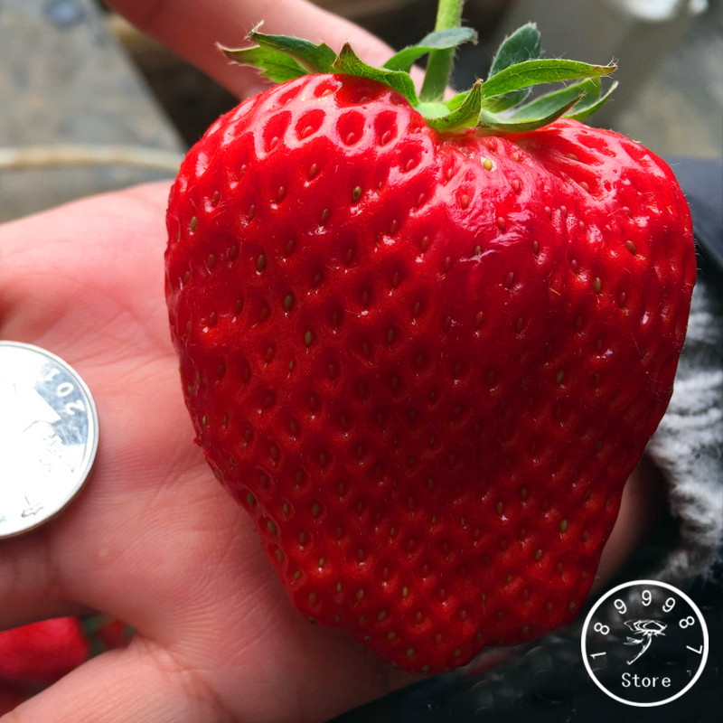 New Fresh Seeds 50 Seeds Super Giant Strawberry Fruit Seeds Garden And Garden Balcony Potted Strawberry Seeds,#YS015L