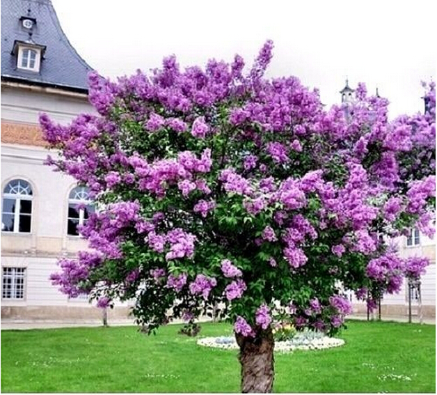 pack semillas plantas de exterior hermosa lila prpura lila lila japons muy