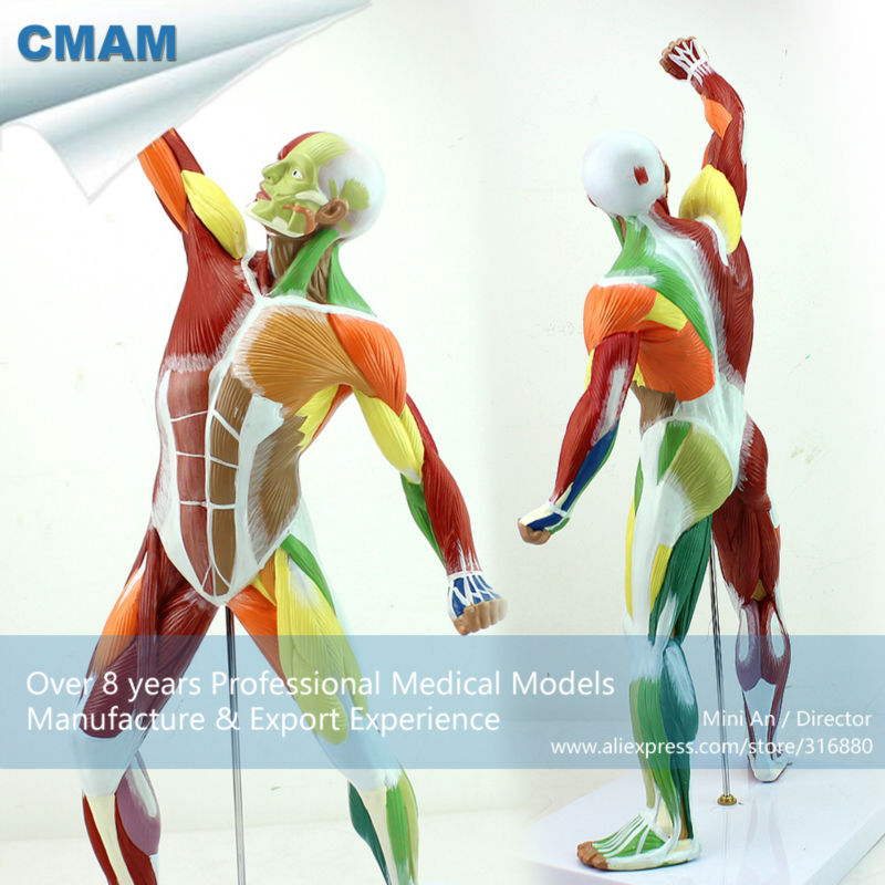 12308 CMAM-MUSCLE14 Human Muscle and Skeleton Anatomy Model Learing Education 55cm Tall ...