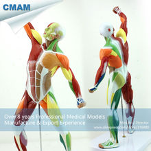 CMAM-MUSCLE14 Human Muscle and Skeleton Anatomy Model Learing Education 55cm Tall