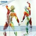 CMAM-MUSCLE14 Muscular e Anatomia Esqueleto Humano Modelo Learing Educação 55 cm de Altura