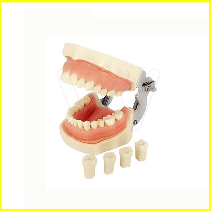 Dental Typodont Model 28 pcs Removable Teeth Kilgore Nissin All Removable Dental Typodont Model 28 pcs Removable Teeth Kilgore Nissin All Removable