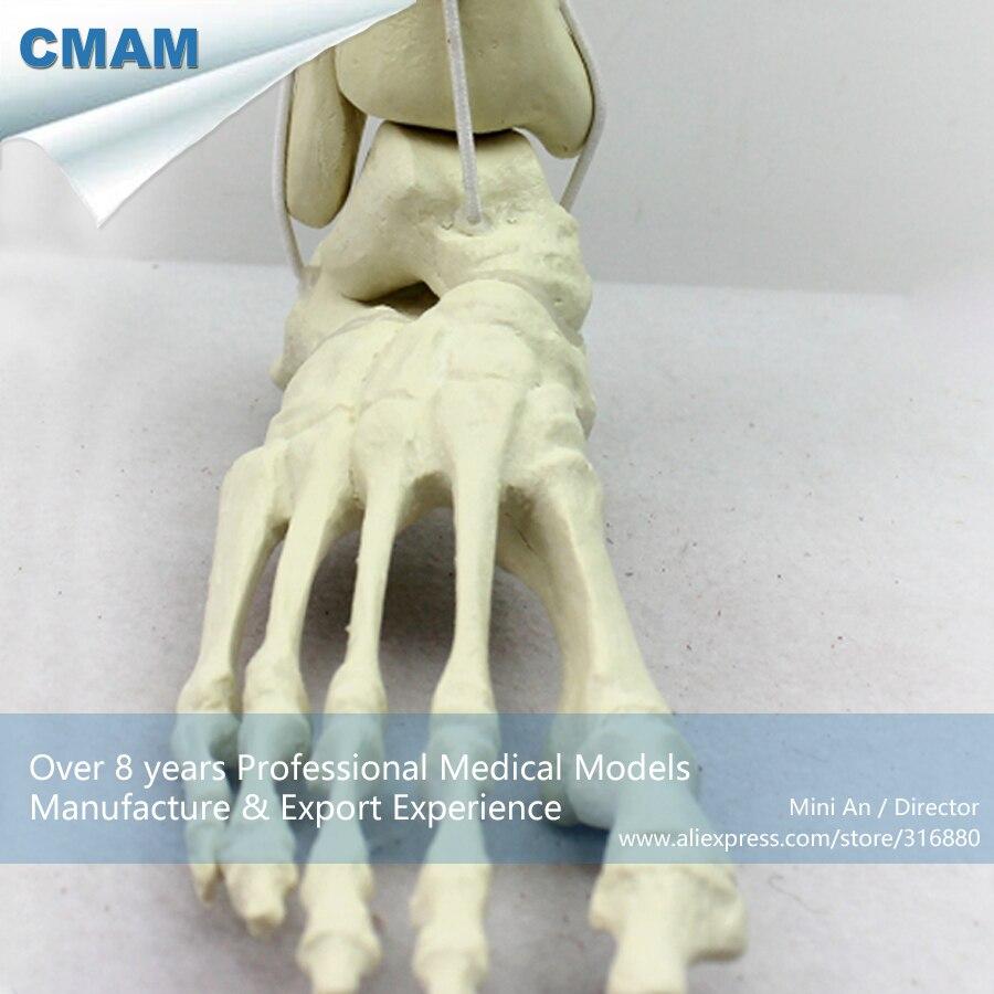 12317 CMAM-TF06 Synthetic Bones - Skeleton of Lower Limb (Right or Left),SWABone Models / Tibia + Fibula + Foot Skeleton new 2pcs female right left vivid foot mannequin jewerly display model art sketch