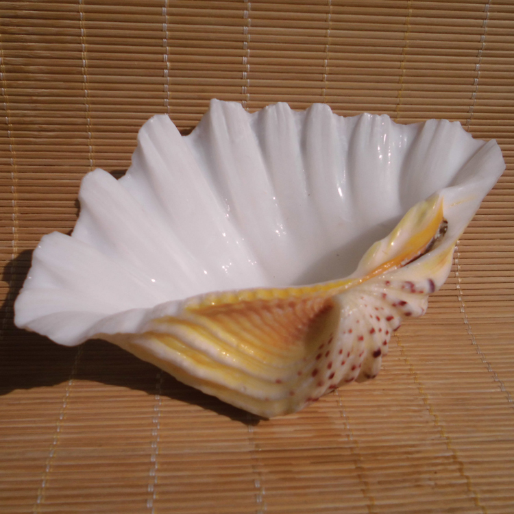 Buy large sea shells decoration creative for Large seashells for crafts