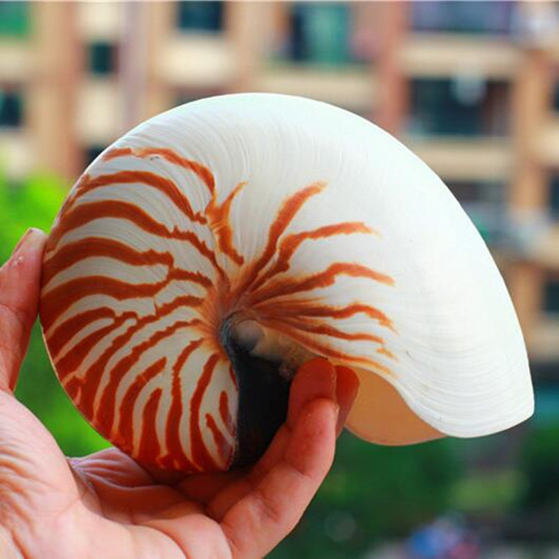 3-21CM Four Big Famous Screw Natural Conch Nautilus Shell Starfish Home Desk Fish Tank Accessories Aquarium Decoration