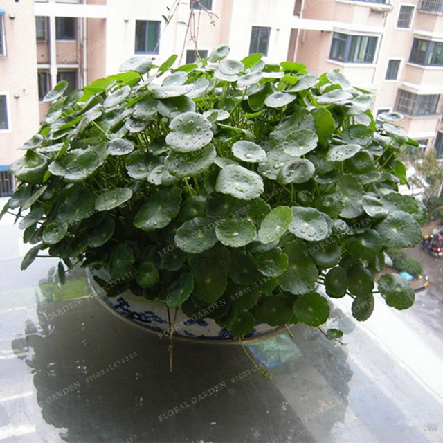 100pcs/lot Hydroponics Flower Aquarium Grass Plants Penny Grass Seeds, Best  Indoor Bonsai Plant