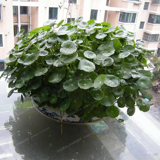 100pcs/lot Hydroponics Flower Aquarium Grass Plants Penny Grass Seeds, Best  Indoor Bonsai Plant