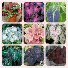 50pcs Hot Sale JAPANESE Caladium bicolor Seeds Bonsai Cherry Tomato balcony rare flower Seeds Home & Garden Free Shipping