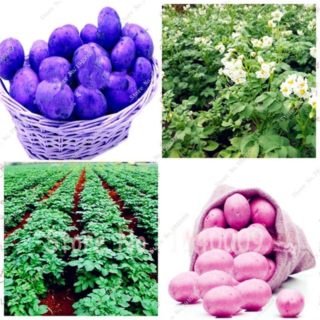 Vendita! 200 pz Gigante di Patate Viola piante Bonsai Nutrizione Arcobaleno di V