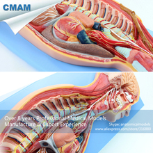 CMAM-BRAIN17 Human Sympathetic Nervous System Anatomical Model for Education