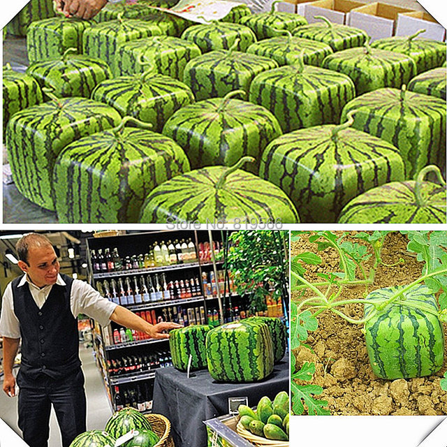 Japan Big Melon